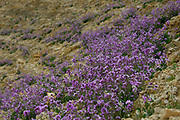 Blooming Purple Matthiola aspera After a rare rainy season in the Negev Desert, Israel, an abundance of wildflowers sprout out and bloom. Photographed in Wadi Zin, Negev, Israel in March