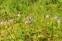 Rose pogonia (Pogonia ophioglossoides) blooming in a ditch near Eastern Head, Isle au Haut, Maine.