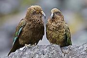 Juvenile kea next to an adult, Fiordland, New Zealand