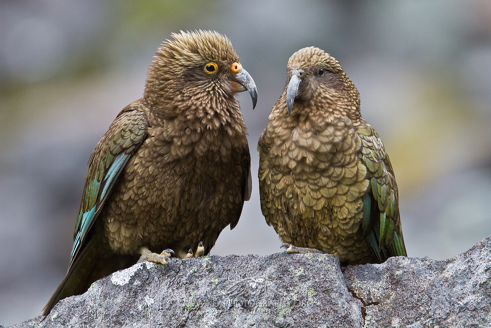 Juvenile kea next to an adult, Fiordland, New Zealand