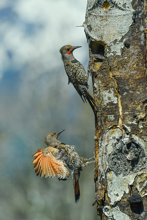 Northern flickers nesting.