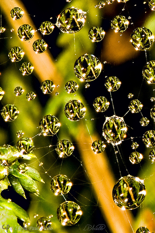 Dew drops cling to a Funnel Weaver Spider (Agelenidae) web spread over Sedum