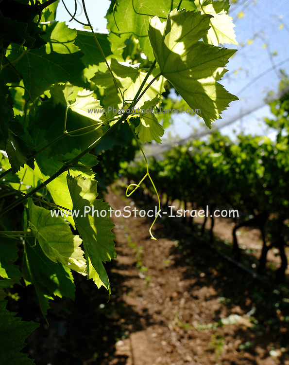 Israel, Northern Negev,  vineyard