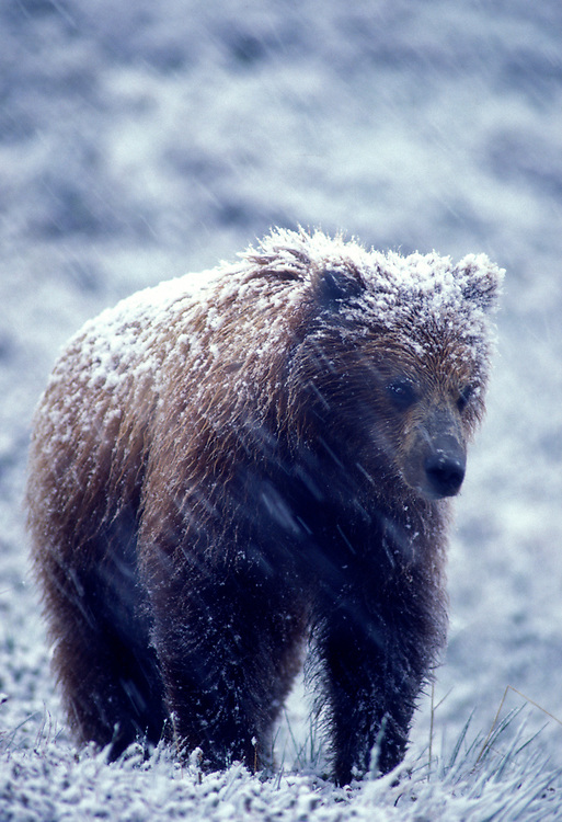 USA, Alaska, Denali National Park, Grizzly Bears (Ursus arctos) in spring snowstorm in Highway Pass