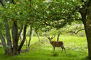 Red deer stag, Cervus elaphus, with velvet type antlers in woodland at Lochranza, Isle of Arran, Scotland