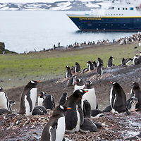 Gentoo penguins sit on rock nests with their fluffy grey chicks in front of the National Geographic Explorer on Barrientos Island.