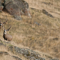 two trophy mule deer bucks standing altert on rocks in grass lands
