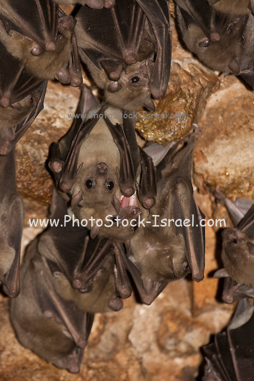 Egyptian Fruit Bat (Rousettus aegyptiacus) On a cave's wall. Photographed in the Judaean Hills, Israel