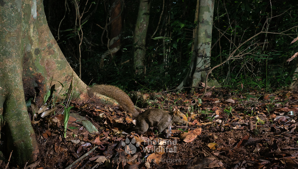 The Mountain Red-bellied Squirrel (or Pallas's Squirrel) is, as its name implies, an inhabitant of montane areas. Though preferring primary or secondary forest habitats, it will readily forage on the ground in clearings and cultivated areas adjacent to such forests. There are 5 known sub-species found in Thailand.