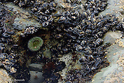 The mussels formed a dense clump around this small tide pool.  A single giant green anemone hung on the side of the pool.  The mussels are favorite food of the ochr sea stars and therefore tend to be found higher in the intertidal zone than sea stars can go.
