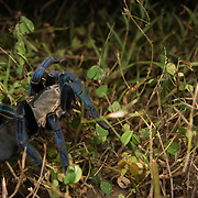 Cobalt Blue Tarantula (Cyriopagopus lividus) female in Nong Ya Plong, Phetchaburi, Thailand