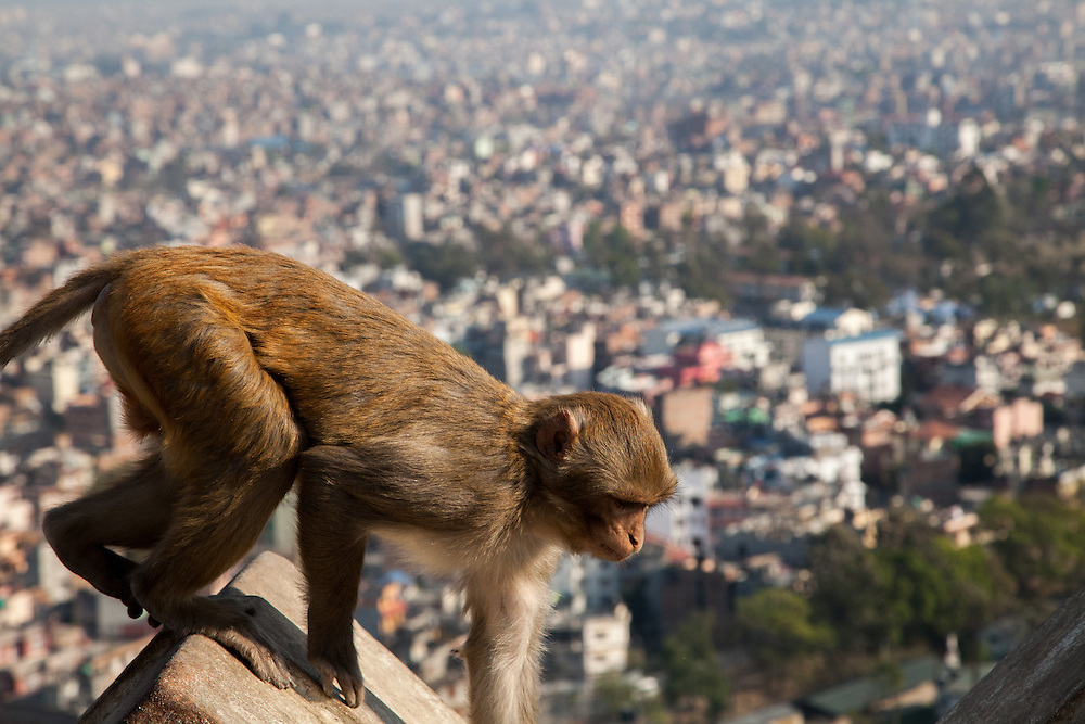 A monkey navigates the wall surrounding the Swayambhunath Stupa in Kathmandu, Nepal