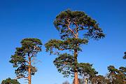 Scots pine trees Pinus sylvestris against blue sky, Sutton Heath, Suffolk, England, UK