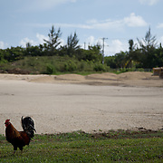 MAY 29, 2015---GRAND CAYMAN, CAYMAN ISLANDS----<br /> Chickens walk around a lot where workers started filling in part of the lot where the CIFA (Cayman Islands Football Association) has been expected to build facilities since 2009. This project started about one month ago. The former President of the CIFA, Jeffrey Webb, was arrested in Zurich for alleged corruption. Webb was President of CIFA and CONCACAF and is Vice PResident of FIFA. (Photo by Angel Valentin/Freelance)