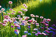 Magical Light - pink flowers digital painting