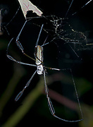 Giant orb weaver (Nephila sp.) from the rainforest of eastern Ecuador.