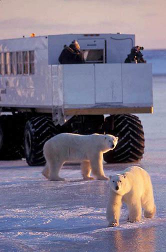 Polar Bear, (Ursus maritimus) Tundra buggy on frozen ice of Hudson Bay observing bears. Churchill, Manitoba. Canada.