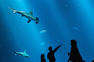 Silhouette of 2 kids and an adult in front of giant aquarium with hammerhead shark, but pointing to something else. Monterey Bay Aquarium has a million gallon tank.