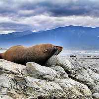 Fur Seal Napping on Kaikoura Peninsula in Kaikaoura, New Zealand<br /> This New Zealand fur seal is using a limestone rock as a pillow as he naps on the Kaikoura Peninsula in the northeast section of New Zealand&rsquo;s South Island. When he opens his eyes, he has a spectacular view of the Pacific Ocean and the Seaward Kaikoura mountains. Kaikoura is a quaint town of about 2,100 people. It has an active crayfish industry. The tourists love the boat rides to watch the sperm whales and dolphins.