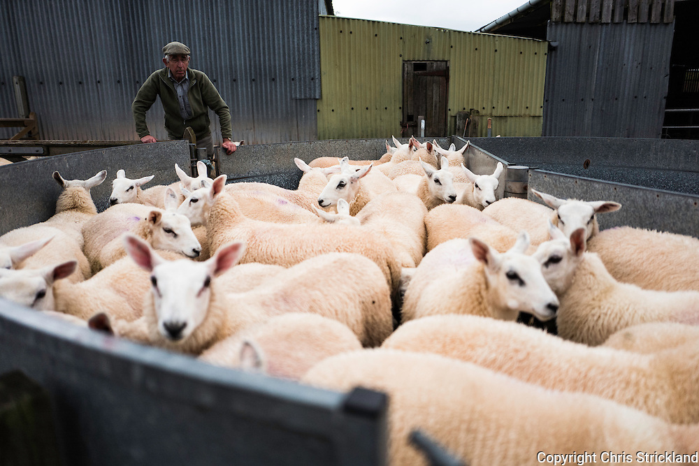 Oxnam, Jedburgh, Scottish Borders, UK. 2nd August 2016. Shepherds sort through lambs that have recently been weened from the ewes in order to divide the flock into different grazing fields.