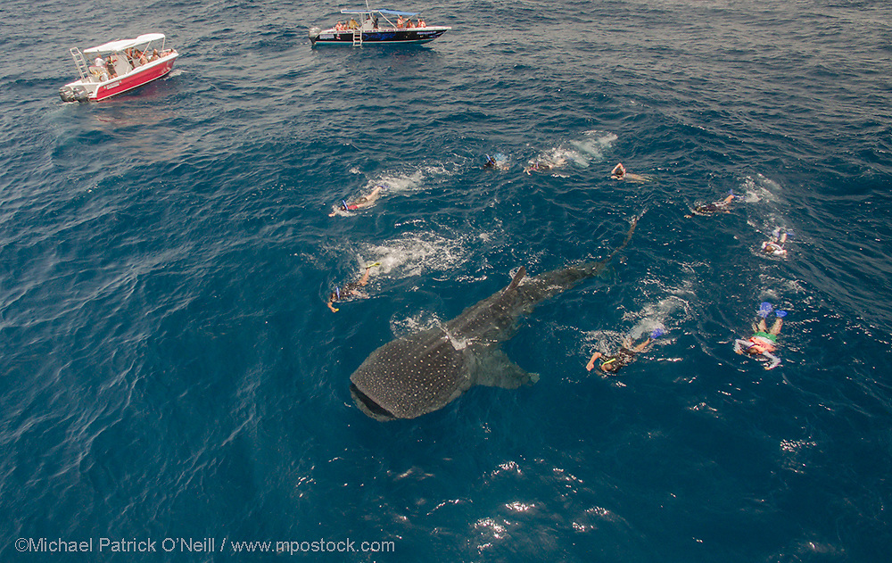 A Whale Shark, Rhincodon typus, feeds on fish eggs and plankton offshore Cancun and Isla Mujeres, Mexico while snorkelers look on. Every summer, hundreds of these massive fish gather in the same area to feed and socialize. The Whale Shark is the world's largest fish, reaching roughly 40 ft. in length.