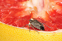 Stink Bug Eating Pink Grapefruit. Image taken with an Nikon D3 and 200  mm  f/4 macro lens (ISO 200, f/16, 1/60 sec, ring flash).
