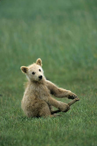 Alaskan Brown Bear, (Ursus middendorffi) Young cub playing with stick. Alaskan Peninsula.
