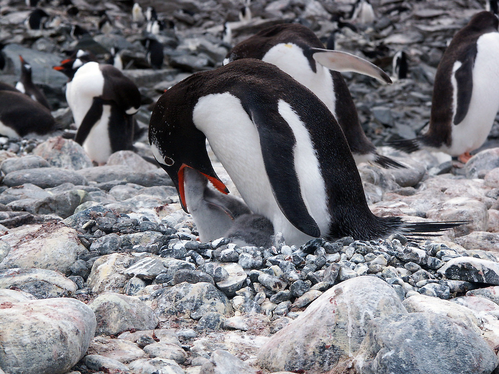 An adult Adelie penguin feeding its baby chick in their nest.  The photo was taken in Antarctica.