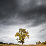 Autumn wind blows through the leaves of a lone cottonwood near Oxbow Bend in Grand Teton National Park, Wyoming.