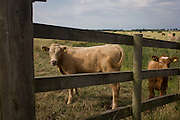 Young cows peer through the fence of farming land near Ludham on the Norfolk Broads.