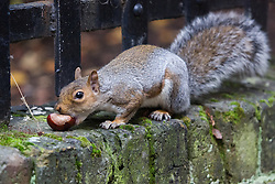 © Licensed to London News Pictures. 04/10/2013. London, UK. An urban squirrel gathers and eats conkers which have fallen from trees on the Greenbank estate in Wapping, East London during the autumn weather. Photo credit : Vickie Flores/LNP