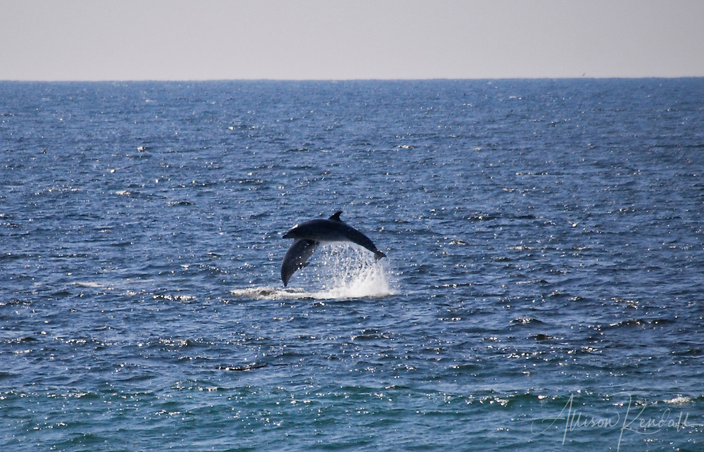 A pair of wild dolphins leap in Monterey Bay