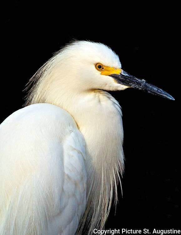 A snowy egret poses against a black backgound in St. Augustine, Florida
