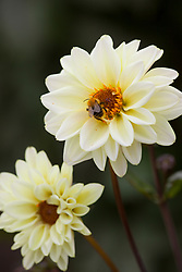 Bee on Dahlia 'Classic Swan Lake'