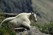 Mountain Goat Hunting Stock Photos