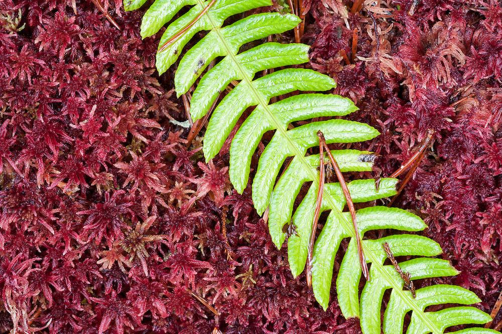Hard fern and Sphagnum moss, Torridon, Scotland