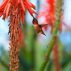 Male Allen's Hummingbird (selasphorus sasin) in Laguna Beach, CA.
