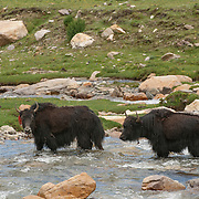 Yaks crossing a stream in the foothills of Tibet. Asia