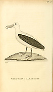 Albatross from the 1825 volume (Aves) of 'General Zoology or Systematic Natural History' by British naturalist George Shaw (1751-1813). Shaw wrote the text (in English and Latin). He was a medical doctor, a Fellow of the Royal Society, co-founder of the Linnean Society and a zoologist at the British Museum. Engraved by Mrs. Griffith