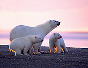 BE- Polar Bear (Ursus maritimus) sow and two cubs have fed on recently harvested Bowhead Whale.  North Slope, AK. Digitally Manipulated