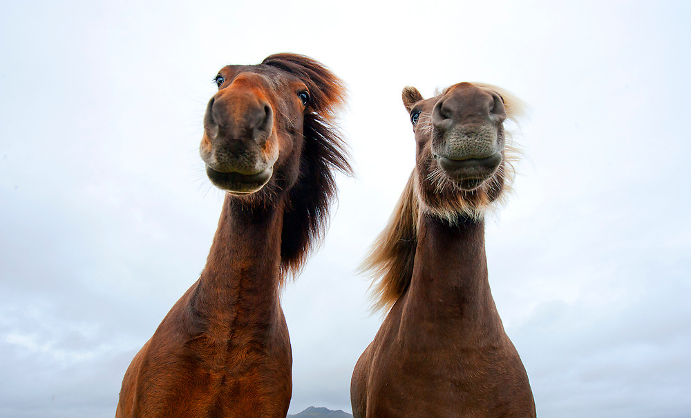 A pair of Icelandic Horses pose for the camera near Grindavik, Iceland