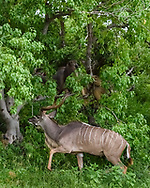 Greater kudu bull in forest along the edge of the Chobe River, with baboons, Chobe National Park, Botswana, © 2019 David A. Ponton