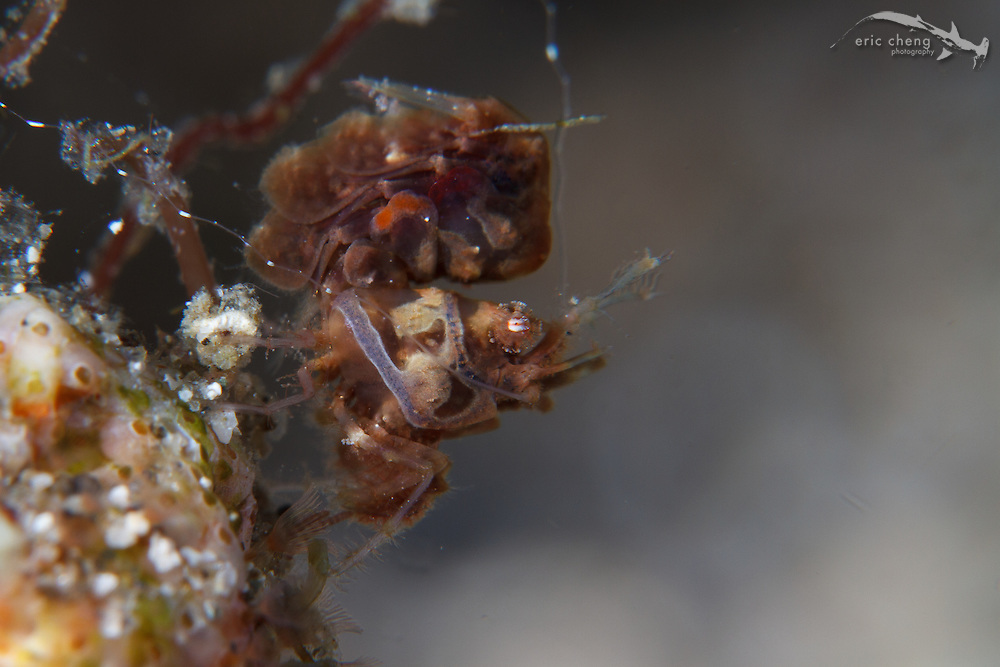 A tiny algae shrimp (Phycocaris simulans). Wai Verang, Lembata, Indonesia.