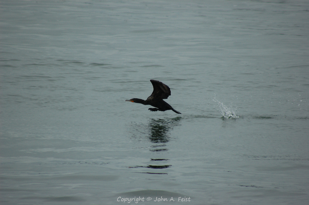A cormorant taking flight from the waters of Long Island Sound at Stone Creek, CT