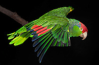 Red Headed Amazon Parrot, (Amazona viridigenalis); Captive; credit: Pandemonium Aviaries/M.D.Kern