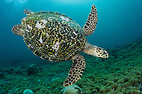 A Hawskbill Sea Turtle glides over a bed of soft corals in search of a tasty morsel<br /> <br /> Shot in Indonesia