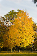 Tree with golden foliage