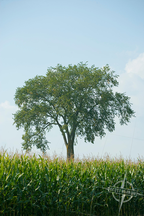 Elm tree in farm field