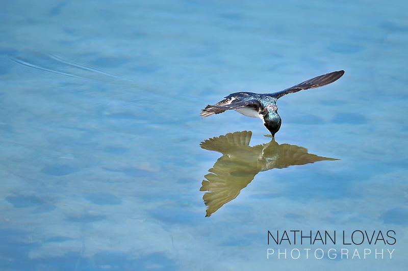 Tree swallow drinking water in flight;  Minnesota.