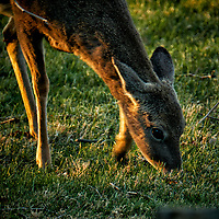 Young Deer Eating Grass in the Late Afternoon Sun. Image taken with a Fuji X-T2 camera and 100-400 mm OIS lens (ISO 250, 400 mm, f/5.6, 1/60 sec).